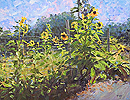 Hogsback Farm Sunflowers
