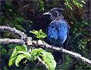 Stellar Jay in the Apple Tree